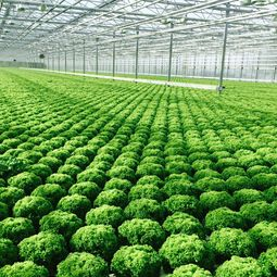 product carbon footprint, ressource efficiency, myclimate, lettuce